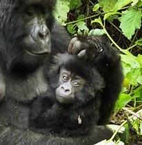 https://www.rainforest-rescue.org/mailalert/900/dr-congo-oil-company-threatens-gorilla-forest#.UNZN5XjqmPY.twitter