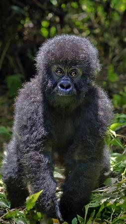 Caption Congo's Virunga National Park / Amanda Jones / An 8-month-old baby gorilla takes a look at the camera.