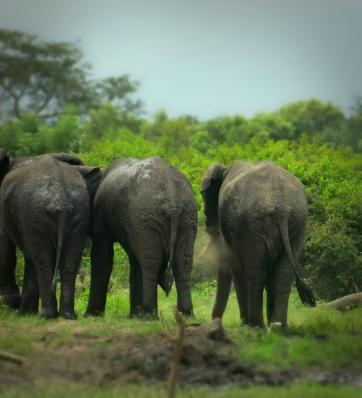 Elephant avec B à Mabenga-1