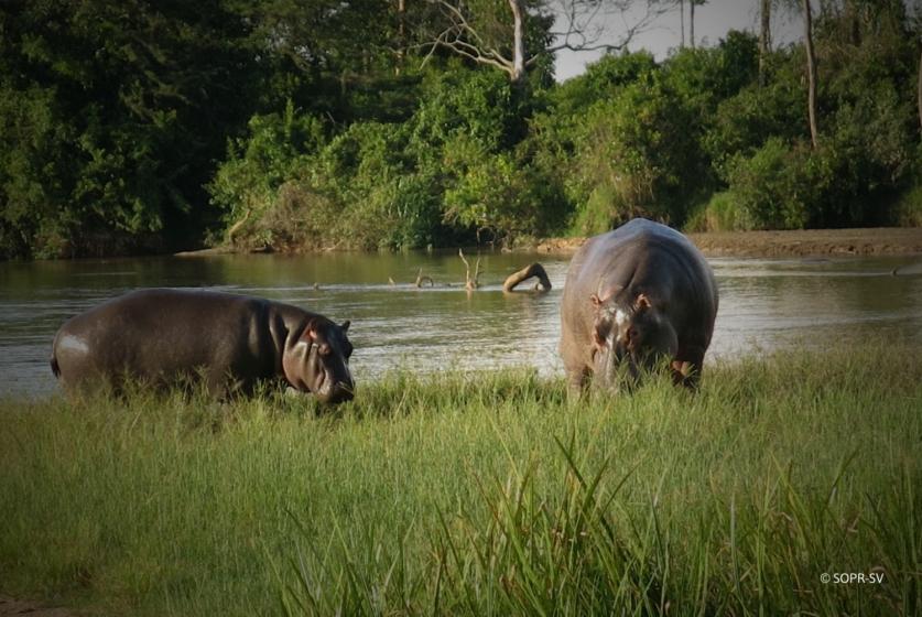 Hippo population in Virunga NP