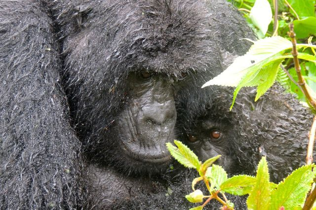 http://www.commdiginews.com/travel/finding-gorillas-in-africa-where-they-still-fight-for-survival-24475/