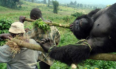 http://images.google.fr/imgres?imgurl=https%3A%2F%2Fseriousmonkeybusiness.files.wordpress.com%2F2010%2F12%2Fcongo-gorilla-masaacre.jpg&imgrefurl=https%3A%2F%2Fseriousmonkeybusiness.wordpress.com%2Fcategory%2Fnon-human-primates%2Fgorilla%2F&h=276&w=460&tbnid=ls1a4AQoNVX8UM%3A&docid=_IXDu3RcuQDzYM&ei=3otkVtjdJcGQaOiNsOgG&tbm=isch&iact=rc&uact=3&dur=155&page=1&start=0&ndsp=18&ved=0ahUKEwjYxPa5-8fJAhVBCBoKHegGDG0QrQMIMzAH