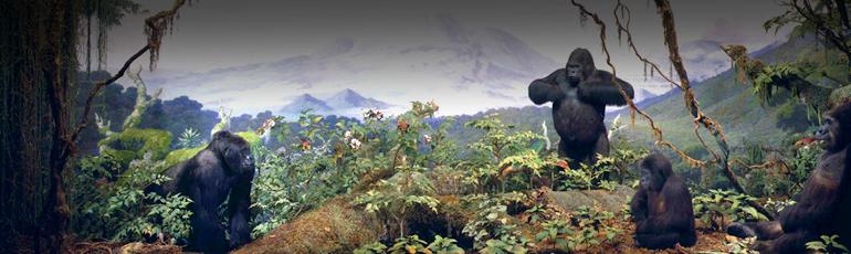 akeley-gorillas-FP