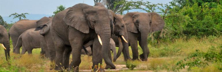 elephants-in-queen-elizabeth-FP