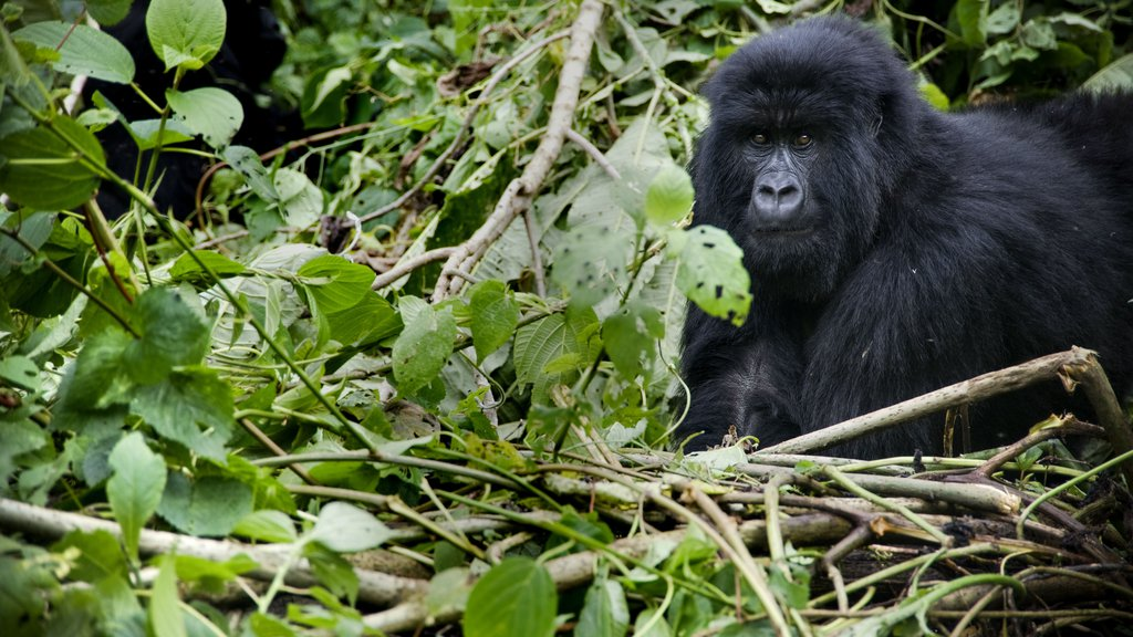 Virunga_high-res_resize.2e16d0ba.fill-1024x576