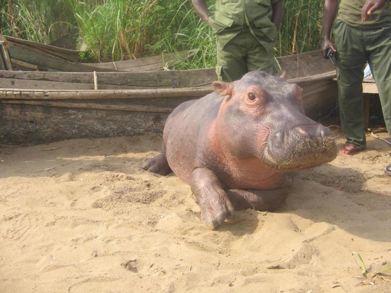 Hippo in Virungan NP with rangers - IDPE