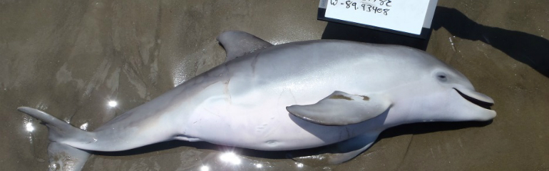 A dead prenate dolphin stranded on Grande Terre Beach, Louisiana, in June 2013. Photo credit: Louisiana Department of wildlife and Fisheries.