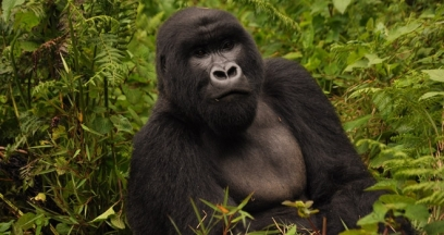 Gorilla in Virunga Landscape