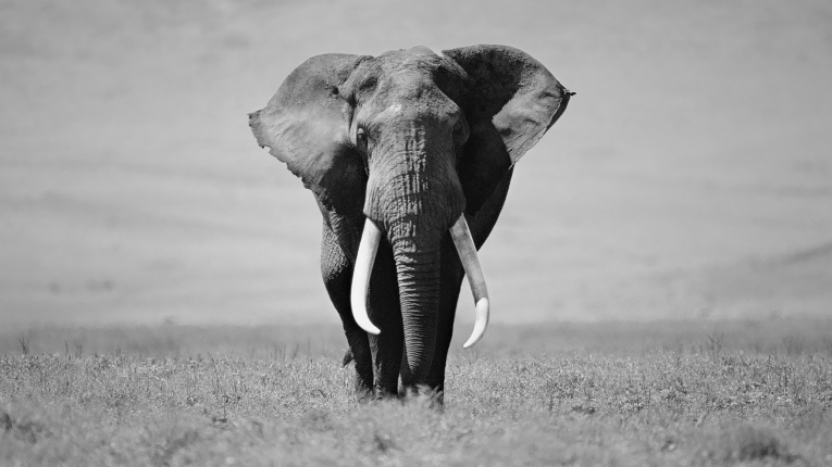 black-and-white-elephant-wallpaper-hd-animal-background-photo