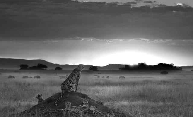 speedy_wild_animal_cheetah_black_and_white_wallpaper (4)