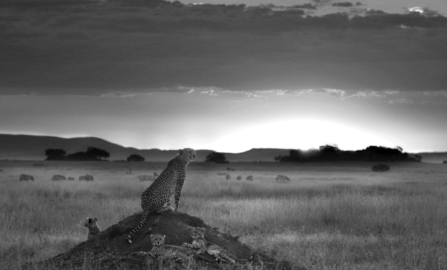 speedy_wild_animal_cheetah_black_and_white_wallpaper (4)