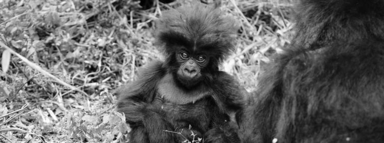 Baby Mountain Gorilla, Virunga National Park, Rwanda (December 2009). Photo by Bradford Duplisea