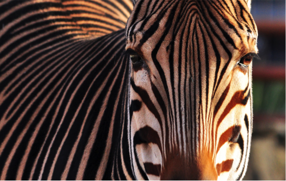 Kidepo Valley National Park, is home to the Maneless Zebra. © Julia W