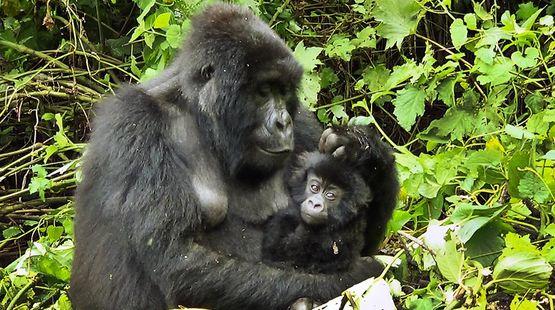 kongo-virunga-np-gorilla-baby
