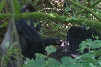 Silverback Humba (left) gently touching his baby girl as Bonane breastfeeds.