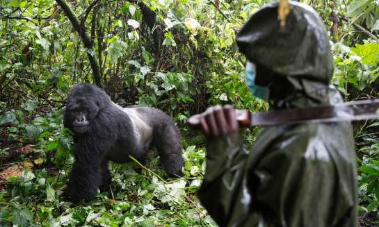 Virunga national park is home to one of the world's largest populations of critically endangered mountain gorillas as well as hundreds of other rare species. Photograph: James Oatway for the Guardian
