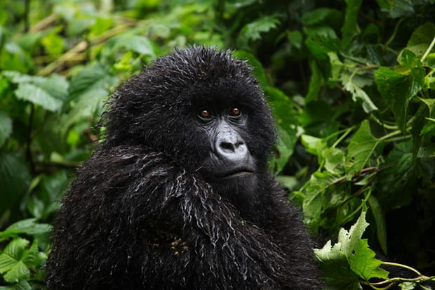 The mountain gorilla population now stands at more than 1,000. Photograph: James Oatway for the Guardian