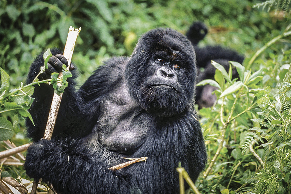 The Virunga National Park, in eastern Democratic Republic of the Congo, is home to the critically endangered mountain gorillas