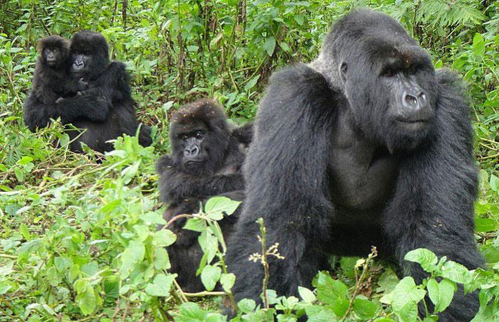 mountain-gorilla-silverback