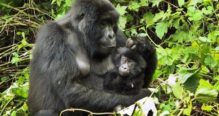 Virunga - Gorillas