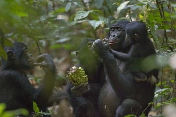 Salonga - Bonobos