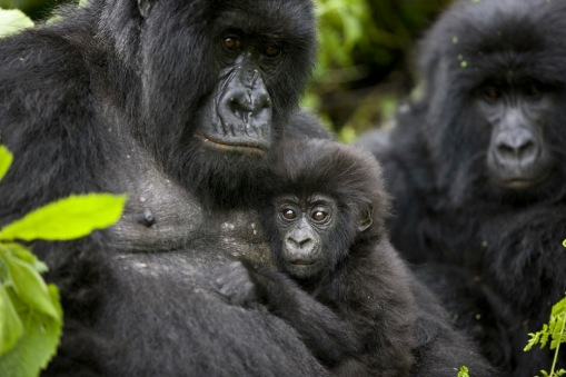 © BRENT STIRTON FOR VIRUNGA NATIONAL PARK (DETAIL) Mountain gorillas