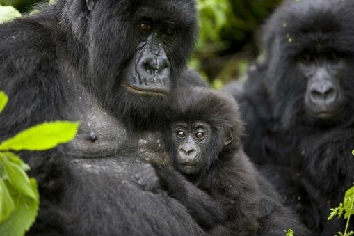 © BRENT STIRTON FOR VIRUNGA NATIONAL PARK (DETAIL) Mountain gorillas