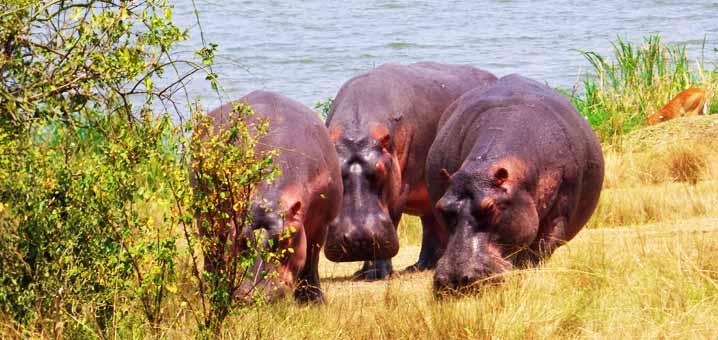 hippopotamuses-queen-elizabeth-national-park