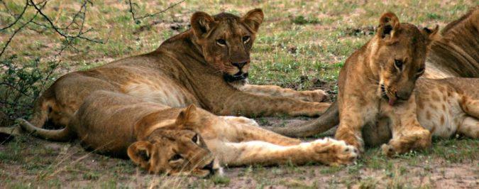 lion-pride-1140x450
