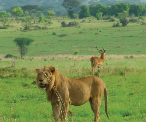 Lion and Ugandan Kob in Murchison Falls National Park. © Daryona